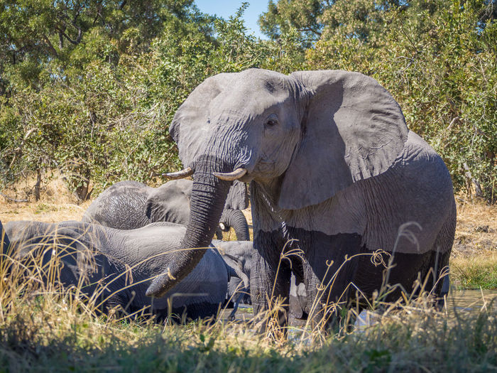 Group of elephant in grass, moremi game reserve, africa