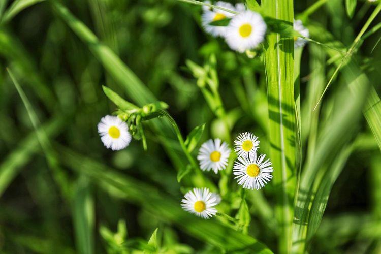 개망초 맑게 피어나는 . . #하루한컷 #개망초 #선유도 #5DMARK4 #신계륵 #EF2470F28LIIUSM Flower Head Flower Botanical Garden Beauty Plant Part Leaf Petal Alternative Medicine Nature Reserve Uncultivated