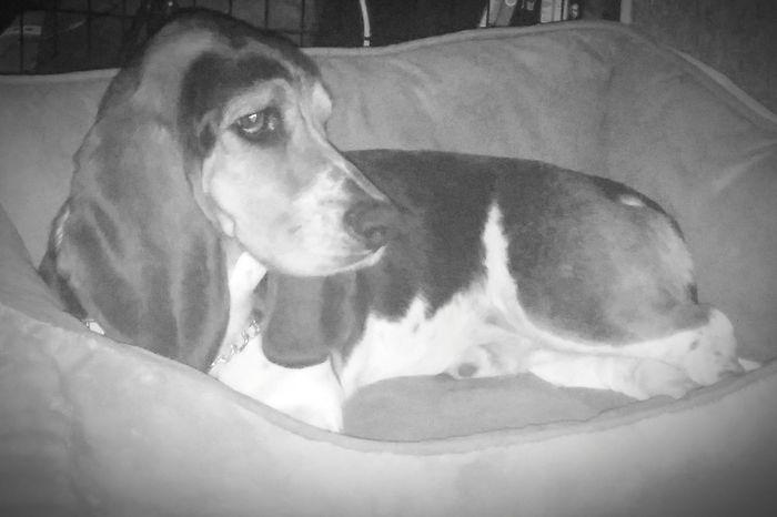 Pets Bassethound StanTheMan Dogs Of EyeEm Dogsofinstagram Purebred Thoseears Puppy Love ❤