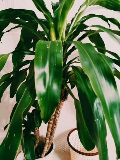 Close-up of green leaves in potted plant