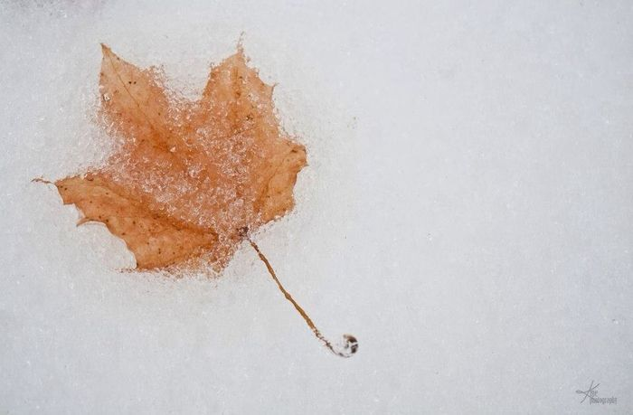 Frozen leaf. Ontario Nature Eye4photography