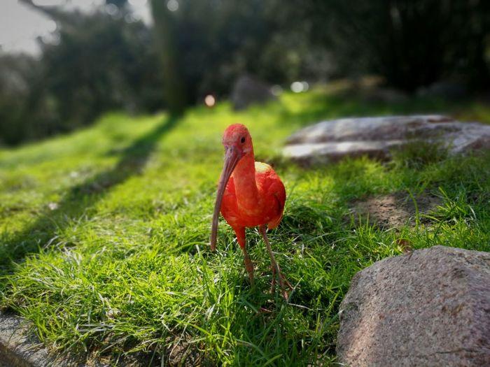 Red No People Bird Cockerel Rooster Red Chicken - Bird Close-up Grass Animal Crest Hen