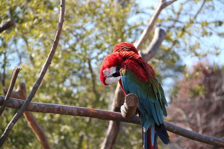 Close-up of scarlet macaws perching on tree