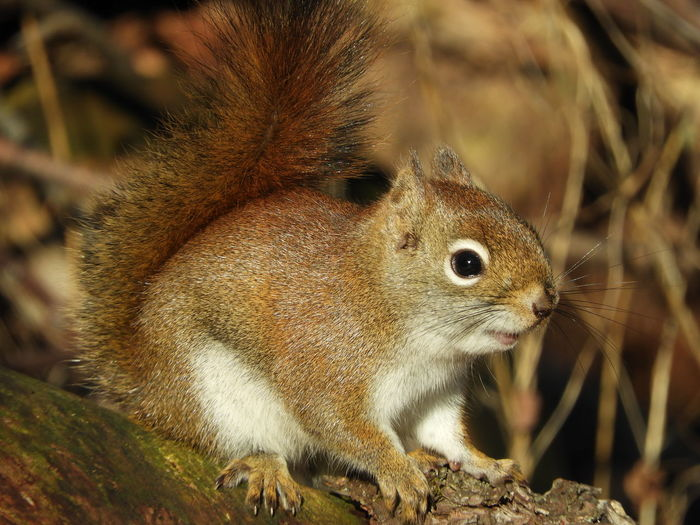 Red Squirrel Red Squirrel Close Up Squirrel Nature Photography Nature Beauty In Nature Peaceful Calm Squirrel Photography Portrait UnderSea Closing Desert Close-up