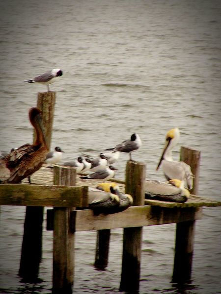 Brown Pelican Seagulls, Beach Full Frame Tranquility Animal Themes Tranquil Scene Animals In The Wild Pelican Birds Outdoors Beautyinnature
