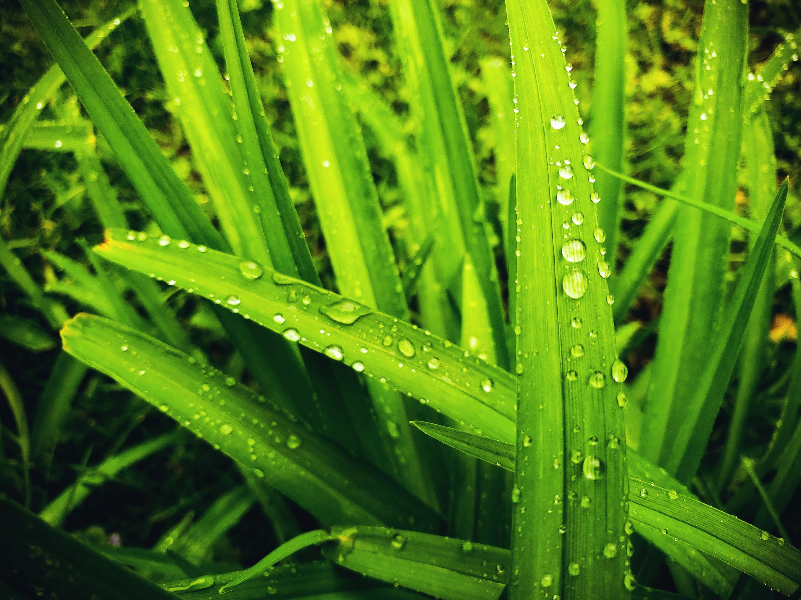 green color, drop, water, wet, plant, growth, grass, nature, blade of grass, rain, no people, freshness, close-up, beauty in nature, day, leaf, plant part, outdoors, raindrop, dew, rainy season, purity