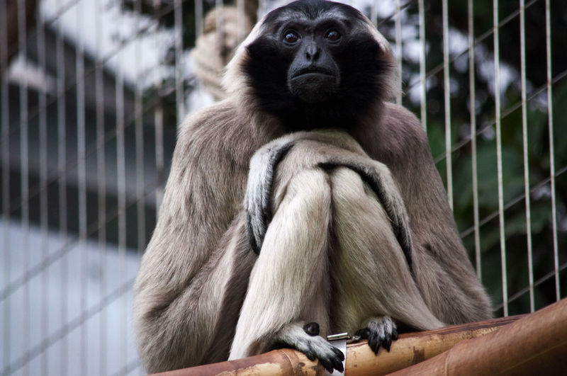 EyeEm Best Shots EyeEm Nature Lover EyeEmNewHere Animal Themes Animal Wildlife Animals In Captivity Animals In The Wild Ape Baboon Cage Close-up Day Gorilla Lemur Looking At Camera Mammal Monkey Nature No People One Animal Outdoors Portrait Primate Sitting Zoo
