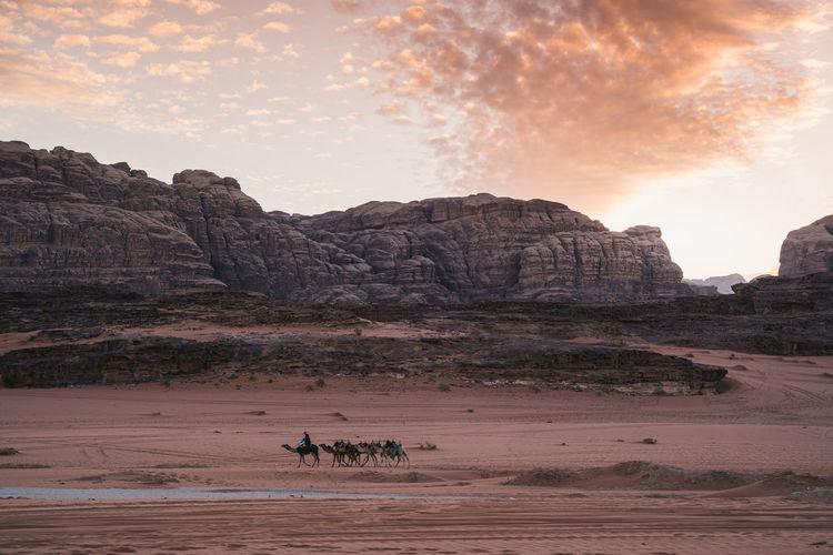 Dromedaries in desert at night