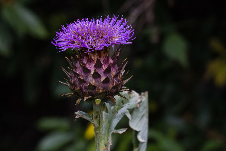 The cardoon (Cynara cardunculus), also called the artichoke thistle or globe artichoke,[2] is a thistle in the sunflower family. It is a naturally occurring species that includes the globe artichoke, and has many cultivated forms. It is native to the western and central Mediterranean region, where it was domesticated in ancient times. The flowers are violet-purple, produced in a large, globose, massively spined capitulum up to 6 cm (2 in) in diameter https://en.wikipedia.org/wiki/Cardoon Cynara Cardunculus Artichoke Thistle Beauty In Nature Cardoon Close-up Flower Flower Head Purple