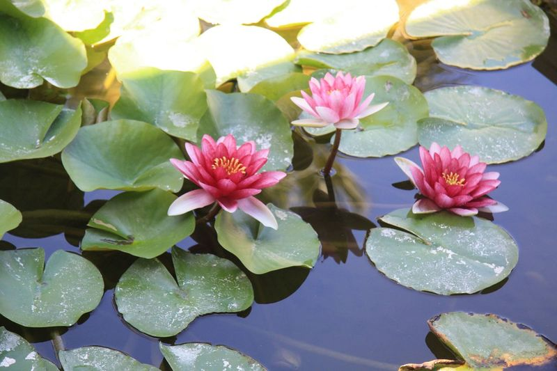 Flower Leaf Water Lily Beauty In Nature Nature Growth Petal Lotus Water Lily Plant Day Water