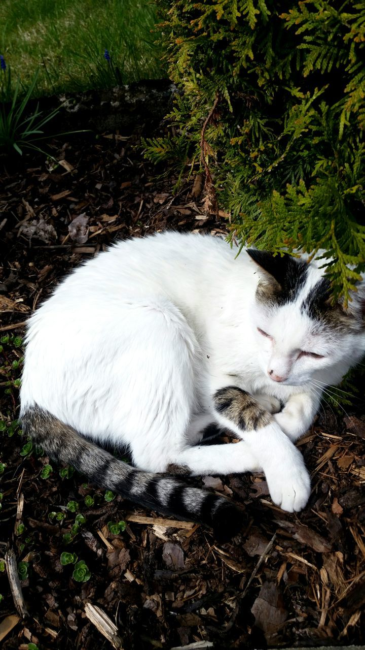 animal themes, domestic cat, one animal, mammal, feline, cat, domestic animals, white color, pets, lying down, outdoors, day, no people, sitting, nature, full length