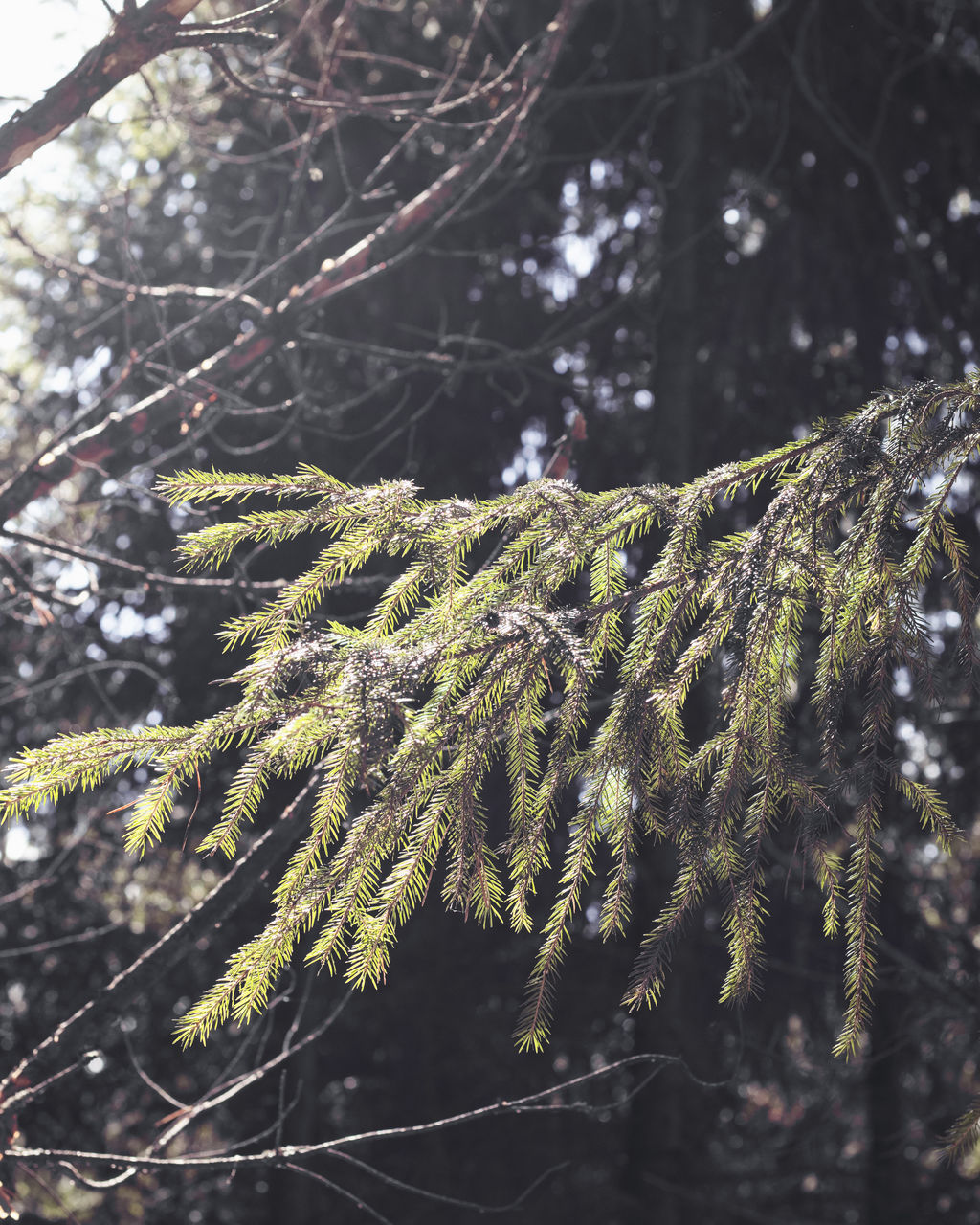 plant, tree, growth, no people, close-up, beauty in nature, nature, branch, focus on foreground, tranquility, day, green color, winter, fir tree, cold temperature, coniferous tree, outdoors, selective focus, pine tree, needle - plant part