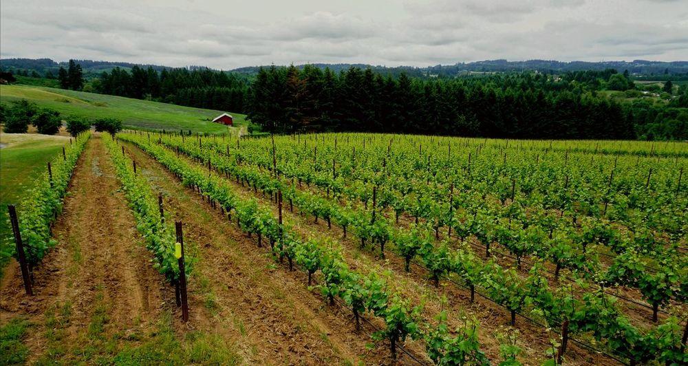 Vinyard Grapevine Wine Tasting The Great Outdoors - 2018 EyeEm Awards Tree Rural Scene Tea Crop Agriculture Field Crop  Farm Sky Landscape Cloud - Sky