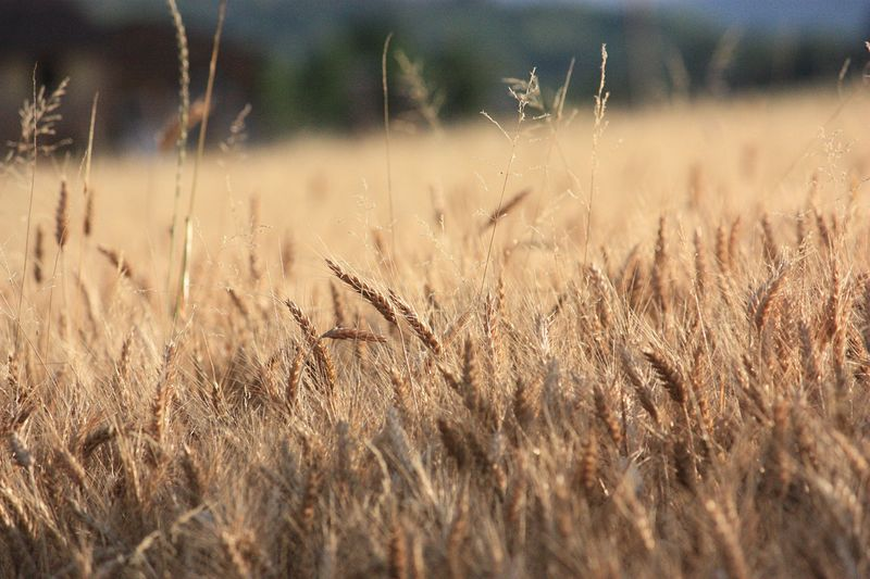 Adoro la natura .. Growth Nature Field Cereal Plant Close-up No People Plant Grass Agriculture Outdoors Wheat Day Life Travel Photography Photooftheday EyeEm Gallery EyeEm Nature Lover Eye4photography  EyeEm Best Shots Nature Travelphotography Love Photo Welcomeweekly