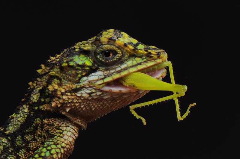 Close-up of lizard on black background