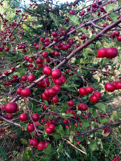 Just One Bite Dear .... ~ Apple Apple Tree Apple Wine Branch Close-up Day Food Food And Drink Freshness Fruit Growth Laden Nature No People Outdoors Red Red Apple Ripe Tree