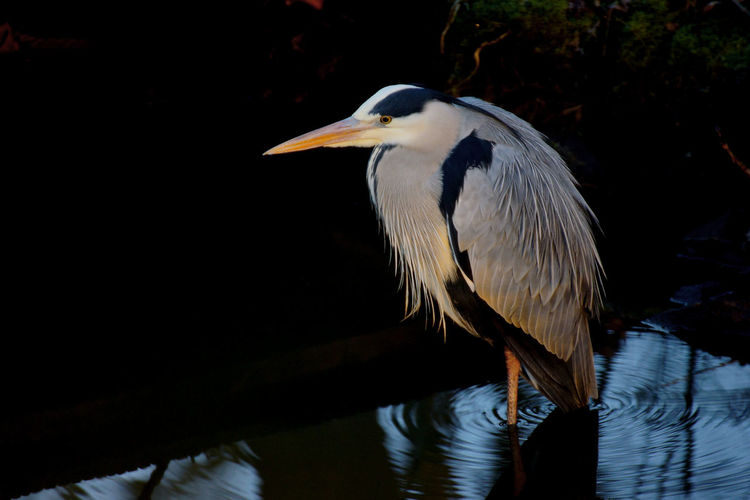 Close-up of heron on lake