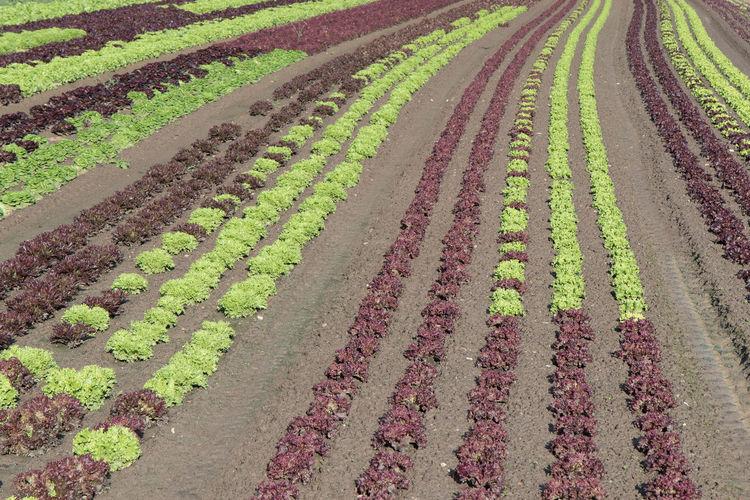 Salad field