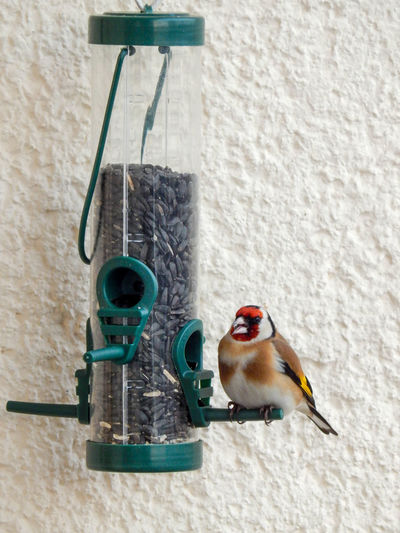 Goldfinch at a winter bird feeder, on the balcony wall of an apartment. Goldfinch Feeding Animal Themes Beauty In Nature Bird Birdfeeder Close-up Day Goldfinch No People One Animal
