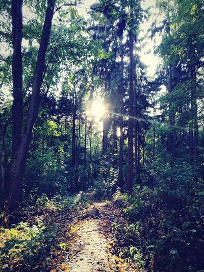 Outdoors Outdoor Outdoor Photography Forrest Forest Forest Photography No People Tree Forest Sunlight Sun Tree Trunk Sunbeam Lens Flare Sky Sunrays Greenery Flora Vegetation Woods Shining Green