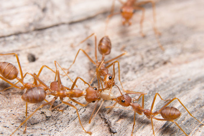 Macro red ants looking for food Arachnid Animal Antenna Spider Web Colony Praying Mantis Snail Mollusk Web Butterfly - Insect Slow Jumping Spider Animal Leg Animal Shell Slug Chachoengsao Prey Arthropod Invertebrate Dragonfly Crustacean