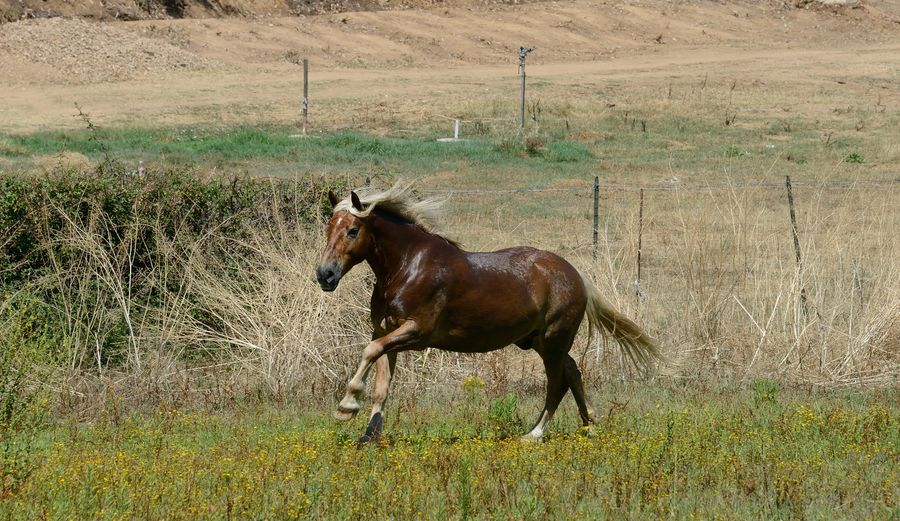 Sangria Animal Themes Animal Wildlife Animals In The Wild Avelignese Horse Blonde Mane Brown Horse Day Domestic Animals Field Full Length Grass Horse Landscape Mammal Nature No People One Animal Outdoors Ride Riding School Running Sardinia Sardegna Italy  Summertime Yellow Flowers Pet Portraits