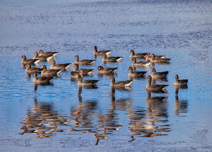 Greylag Geese reflected in the water Animals In The Wild Water Animal Wildlife Animal Animal Themes Large Group Of Animals Group Of Animals Bird Vertebrate Lake Waterfront No People Nature Swimming Day Beauty In Nature Flock Of Birds Goose Togetherness Animal Family