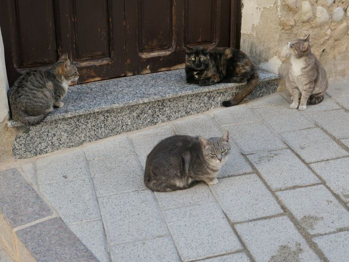 Cats of Mula EyeEm Selects Animal Themes Animal Mammal Pets Vertebrate Domestic Domestic Cat Cat Feline Domestic Animals Group Of Animals No People Relaxation Two Animals Day High Angle View Animal Wildlife Animals In The Wild Resting Paving Stone
