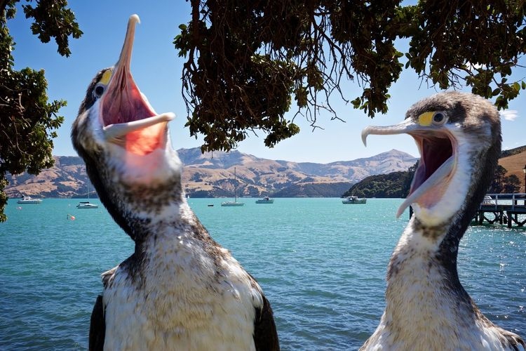 Two laughing shags. Beauty In Nature FUNNY ANIMALS Funny Birds Funny Cormorants Laughing Shags Nature Non-urban Scene Ocean Outdoors Scenics Sea Tranquil Scene Two Cormorants Two Shags Water