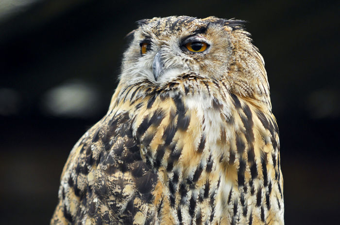eagle-owl Feathers Animal Eye Animal Themes Animal Wildlife Bird Bird Of Prey Eagle Eagle-owl Falcon - Bird Feathers Of A Bird Nationalgeographic Nature One Animal Orange Eyes Owl Peal Portrait Vertebrate Yee Yellow Eyes Zoo Animals  Zoophotography