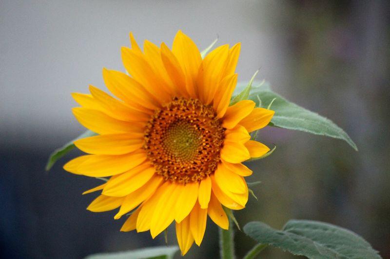 Sunflower Best