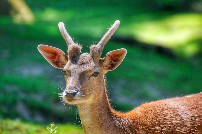 Animal Themes Animals In The Wild One Animal Mammal Deer Focus On Foreground Animal Wildlife Portrait Day Looking At Camera Outdoors Brown No People Nature Close-up Grass Deer Damwild Weltblick Fallow Deer Eye4photography  From My Point Of View Beauty In Nature
