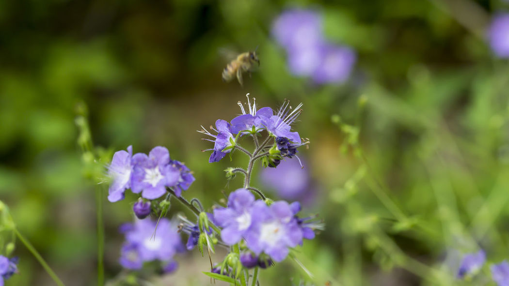Purple Phacelia with a bee in motion. Beauty In Nature Blooming Blossom Blue Botany Bumble Bee Collecting Pollen Bumblebee Flower Flower Head Growth In Bloom Insect Macro Photography Nature Nature Photography Outdoors Petal Phacelia Plant Purple The Great Outdoors - 2016 EyeEm Awards The Great Outdoors With Adobe Wildflower Wildflowers Nature's Diversities