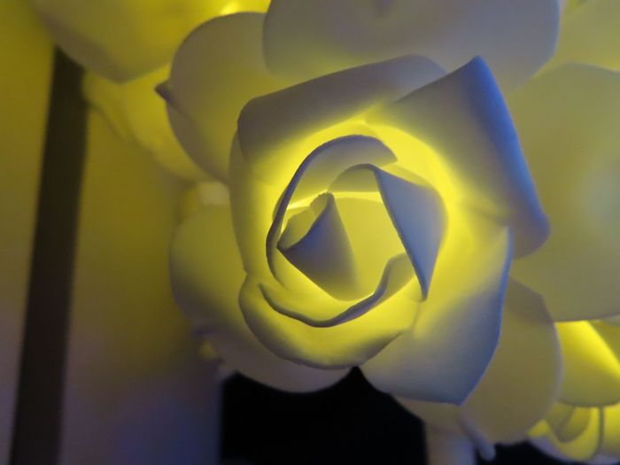 Illuminated rose Rosé Blind Photographer Soft Christmas Decoration Close-up Flowering Plant Flower Indoors  Nature Plant No People Illuminated Shadow Flower Head Vulnerability  Petal Focus On Foreground Fragility Growth Spiral Holiday Moments Capture Tomorrow