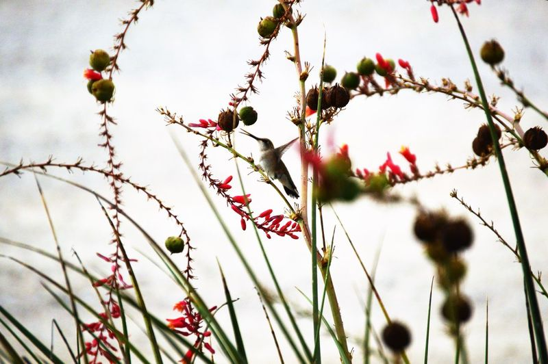 Close-Up Of Hummingbird Perching On Red Flowers