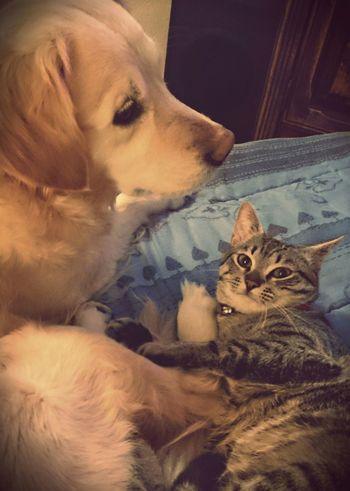 Mydogsarecoolerthanyourkids Mydog Ilovemydog Goldenretriever Cat♡ Ilovemycat Mycat Cute Pets Playing With The Animals OpenEdit