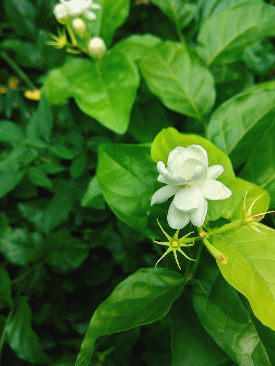 flower, leaf, green color, plant, petal, nature, growth, beauty in nature, white color, fragility, freshness, flower head, blooming, no people, day, outdoors, close-up, periwinkle