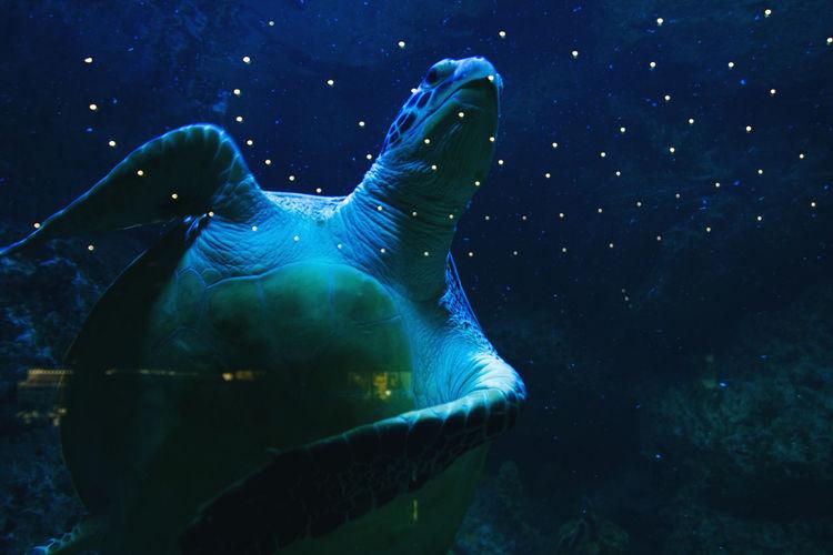Sea turtle swimming in aquarium, selective focus