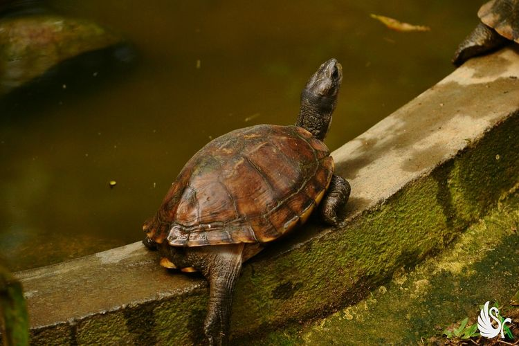 Indian pond terrapin... Reptile Animal Themes Animal Wildlife Animals In The Wild Tortoise Shell Tortoise One Animal Nature EyeEm Beautifull Animals EyeEm Best Shots - Nature Animal Photography Turtle Cuteness Wildlife Photography, Nature Photography EyeEmBestPics EyeEm Week Week On Eyeem Turtles EyeEm Masterclass EyeEm Nature Lover EyeEm Gallery Nature Photography Red Eared Slider Reptile Nature