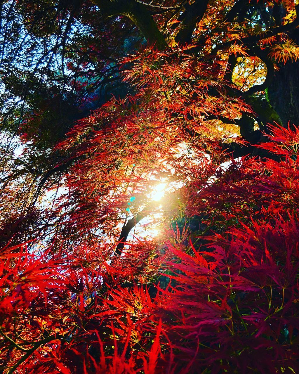 tree, plant, autumn, nature, branch, growth, beauty in nature, change, leaf, sunlight, no people, plant part, tranquility, scenics - nature, day, low angle view, land, outdoors, orange color, tranquil scene, sun, lens flare, streaming, tree canopy