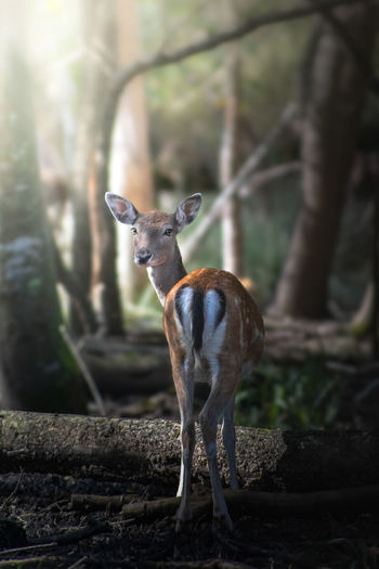 Portrait of deer standing in a forest