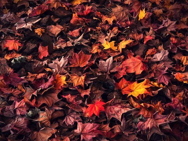 うちのワンコが手術をしました。退院の日に野良猫が温室に仔猫を置いて育児放棄したので保護しました。バタバタ忙しくて紅葉の見頃を逃してしまった😭 枯れ葉 落ち葉 紅葉 Autumn Leaf Plant Part Change Leaves Nature Orange Color
