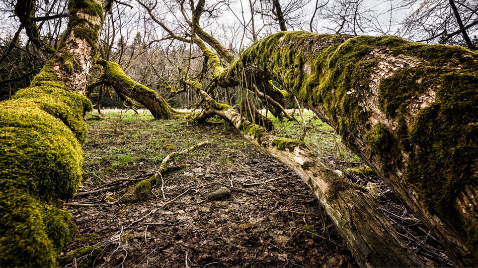 Baumtentakel Livefolk Bark Beauty In Nature Branch Day Forest Grass Green Color Growth Land Moss Nature No People Non-urban Scene Outdoors Plant Scenics - Nature Trail Tranquil Scene Tranquility Tree Tree Trunk Trunk Wald WoodLand