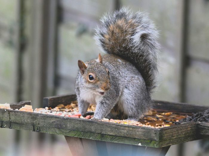 What do you mean it's a bird table? EyeEmNewHere EyeEm Selects Eating Squirrel Rodent Close-up Animal Themes Nut - Food