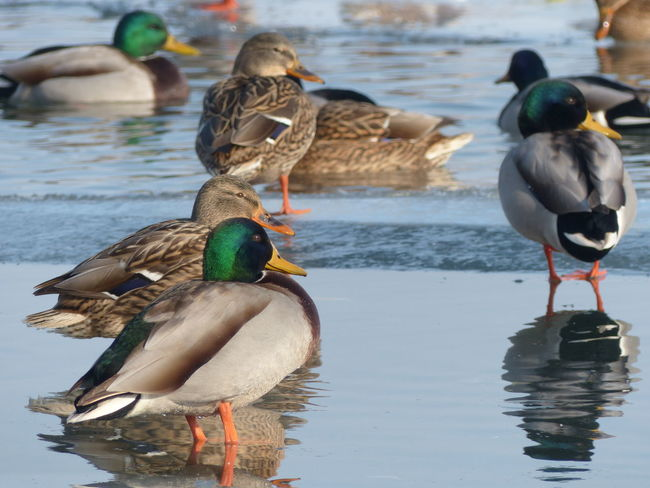 Animal Themes Animal Wildlife Animals In The Wild Bird Day Duck Ice Lake Mallard Duck Mandarin Duck Nature No People Outdoors Shadow Tranquility Water Water Bird Winter