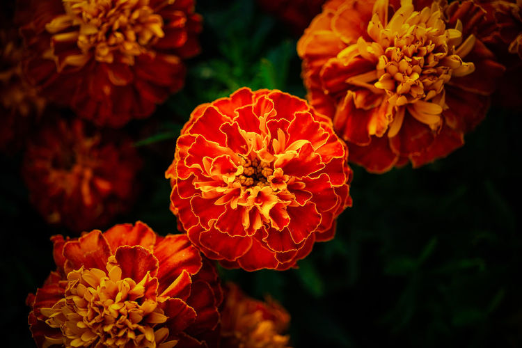 High angle view of orange rose flower