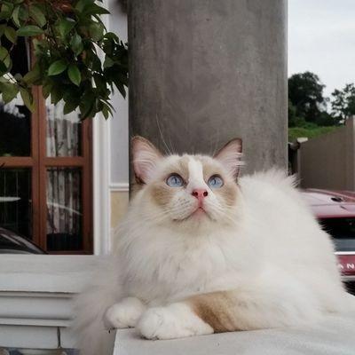 Cats Instacats Amir Ragdoll