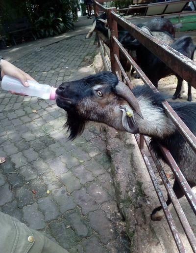 Feeding goat.