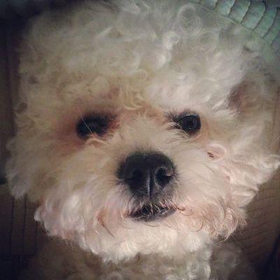 Bichon Bichonfrise Puppy Cute