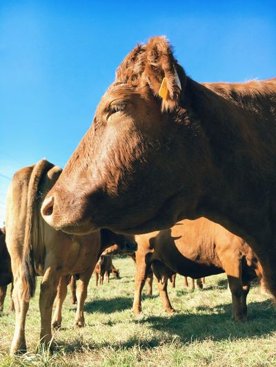 Cattle standing on grassy field against clear blue sky during sunny day